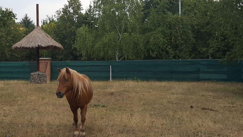 Shetlandský pony Kája
